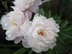 "veryfinescenery: "" 6/1: my peonies finally fully open. """
