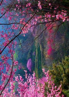 Cherry blossoms - Kyoto, Japan