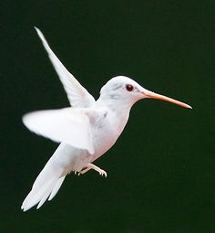 albino hummingbird    (photo by marlin shank)