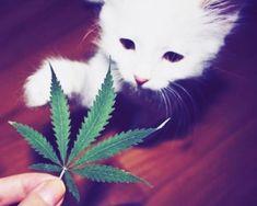 Cannabis kitty