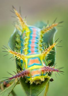From Incredible to Ordinary: Wattle Cup Caterpillar | Featured Creature