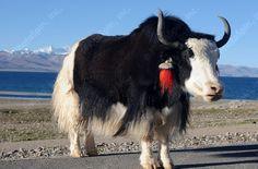 tibetan yak - Google Search