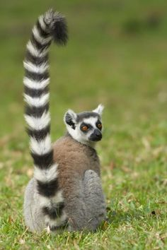 Little body, long tail. We like your style, Mr. Lemur!
