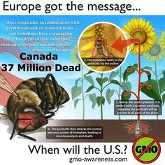 """""""Local beekeepers are finding millions of their bees dead just after corn was planted here in the last few weeks. Dave Schuit, who has a honey operation in Elmwood, lost 600 hives, a total of 37 million bees.""""    Click here to learn more:   http://www.antigmofoods.com/2013/06/neonicotinoids-destroy-600-hives-37.html"""