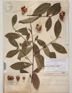 Camellia_sinensis_,Resources for Botanical Sketchbooks, , Resources for Art Students at CAPI::: Create Art Portfolio Ideas milliande.com, Art School Portfolio Work, , Botanical, Flowers, Plants, Leaves,Stem Seed, Sketching, Herbarium