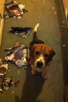 naughty (but loveable) beagle Bernie :)