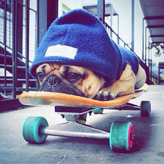 "❤ ""The bulldog riding the skateboard - over rated. Nap on skateboard -- good stuff!too bad it's not a bulldog. It's a pug 😒 Baby Animals, Funny Animals, Cute Animals, Pug Love, I Love Dogs, Doug The Pug, Pug Puppies, Cute Pugs, Adorable Puppies"