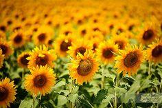 Photographer: Yovko Lambrev  love the sun behind these sunflowers lighting them up!