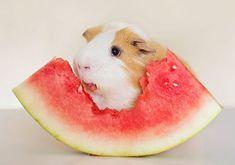Est-ce que vous vous êtes déjà demandé ce que votre cochon d'inde vous dirait s'il pouvait parler ? En plus de demander plus de nourriture bien sur… peut être quelques choses comme ce qui suit…