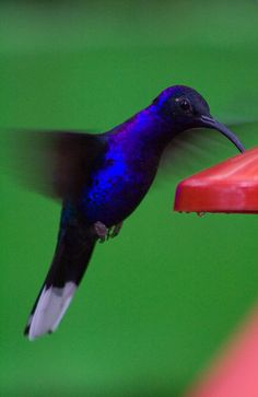 hummingbird...wish we had this beautiful hummer in Michigan...we only have the Ruby throated