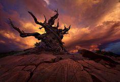 Sunset, Bristlecone, Gnarled, Old, Pine, Tree, Oldest