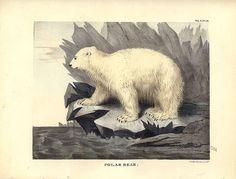 Polar Bear, 1832, Thomas Doughty