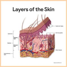 The integumentary system consists of the skin and accessory structures, such as hair, nails, and glands. The integumentary system is recognizable to most people because it covers the outside of the body and is easily observed. Skin Anatomy, Anatomy Art, Teas Test, Medical Billing And Coding, Medical Terminology, Nursing School Notes, Human Body Systems, Medical Anatomy, Human Anatomy And Physiology