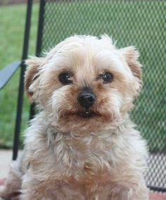Yorkshire Terrier Yorkie Mix • Young • Male • Small Yorkie Haven Rescue, Inc. League City, TX