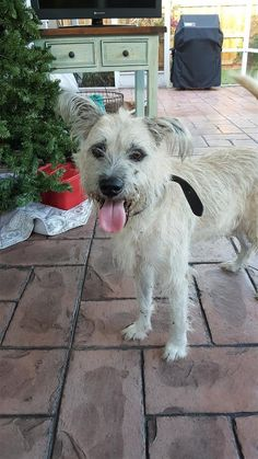 Found Dog - Terrier - Deerfield Beach, FL, United States
