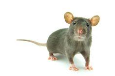 Eloigner les rats de chez vous - Solution efficace et astuce de grand-mère