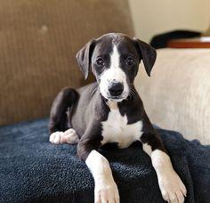 New Whippet Puppy   Jay Van