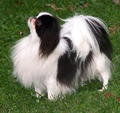 """Japanese Chin  - I used to have one called """"YongKong"""" lol  I loved her soooo much!!"""
