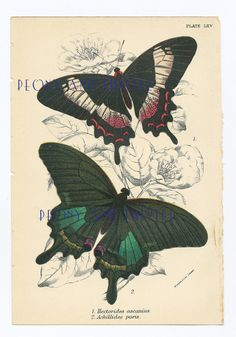 Antique Print of Butterflies, 1890s, Housewares, Picture of Butterflies, Vintage Butterflies on Etsy, £20.00