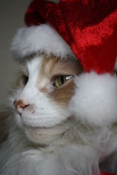 Santa Kitty knows if you've been naughty or nice! #cats #kittens #cute #Christmas
