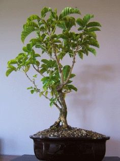 New Zealand Bonsai Trees Nz And Imported Bonsai Pots And