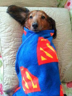 Super Doxie!  #cute #dachshund