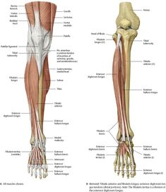 Knee & Leg - Atlas of Anatomy - Atlas of Anatomy, is the essential resource for anyone studying gross anatomy. This atlas guides you step-by-step through each region of the body, helping you master the details of anatomy. Leg Anatomy, Anatomy Bones, Gross Anatomy, Muscle Anatomy, Anatomy Study, Anatomy Drawing, Anatomy Sketches, Anatomy Reference, Art Sketches