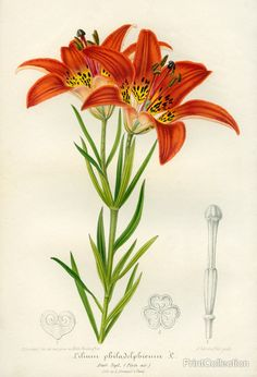iCanvas Western Red Lily Gallery Wrapped Canvas Art Print by Print Collection Art Floral, Vintage Botanical Prints, Botanical Drawings, Botanical Flowers, Botanical Art, Flower Prints, Flower Art, Vintage Flowers, Beautiful Flowers