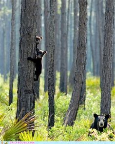 bear cubs in the trees, mama bear in the ferns