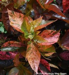 """Acalypha """"Showtime"""". Great in containers or the ground!"""