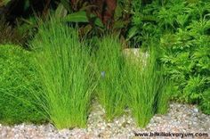 Water plants can be used to beautify your garden, especially if you park have pond or pool. there are several types of water plants that you should know here Pond Plants, Aquatic Plants, Water Plants, Garden Plants, Aquascaping Plants, Nature Aquarium, Freshwater Aquarium Fish, Garden Pond, Tropical Fish