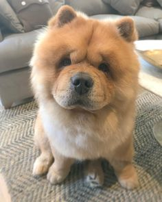 Beautiful Dogs, Animals Beautiful, Cute Animals, Best Dogs For Families, Family Dogs, Cute Puppies, Dogs And Puppies, Chinese Dog, Big Dog Breeds