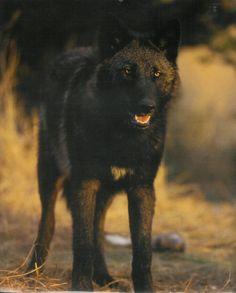 http://fc00.deviantart.net/fs22/f/2008/010/7/4/Baraj__Black_Wolf_by_LordWolfgang.jpg