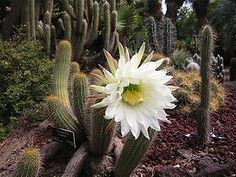 Lobivias (echinopsis): Echinopsis is a large genus of cacti native to South America, sometimes known as hedgehog cactus, sea-urchin cactus or Easter lily cactus. One small species, E. chamaecereus, is known as the peanut cactus. The 128 species range from large and treelike types to small globose cacti. The name derives from echinos hedgehog or sea urchin, and opsis appearance, a reference to these plants' dense coverings of spines. Echinopsis is distinguished from Echinocactus by the length…