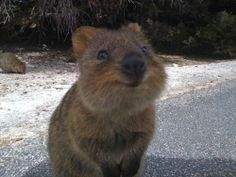 Квокка или короткохвостый кенгуру (Setonix brachyurus) It's called a Quokka, lives in australia, is endangered, and considered one of the friendliest, happiest animals on earth. Happy Animals, Cute Baby Animals, Funny Animals, Wild Animals, Smiling Animals, Animal Pictures, Cute Pictures, Hilarious Pictures, Animals Photos