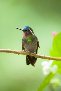 Purple Throated Mountain Gem - photo: Álvaro Cubero Vega on 500px
