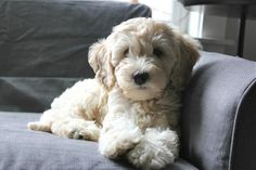 Lily the Australian Labradoodle