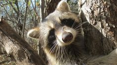 wild friendly coon lucan ontario
