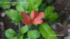 Flowers from My Cam: 13. Oosi Kanakambaram / Fire Cracker ~ Kurinji Kathambam