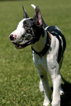 Harlequin Great Dane #puppy | Dog Breeds at myPetSmart.com