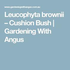 Leucophyta brownii – Cushion Bush | Gardening With Angus