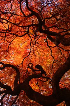 Eloquence - Color Nature Photography, red orange yellow autumn fall leaves leaf maple tree twisted tree trunk