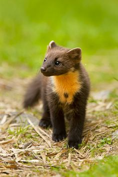 Pine Marten | pine marten 004. Please keep your cats in at night, to help protect these and so many other little creatures from being killed, from a cat  lover!