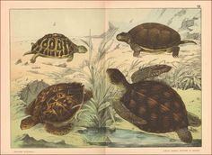 Turtles Various Types Fine Scarce Chromolithograph Antique Original 1887 | eBay