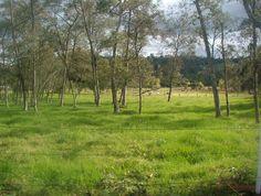 Alnus acuminata (Aliso) + Pennisetum clandestinum (Kikuyo) vladimirsanchez@unillanos.edu.co