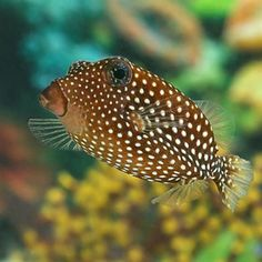 Black Boxfish