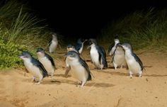 Penguin Parade on Phillips Island in Australia. Experience one of Australia's most popular attractions. Each night at sunset you'll be amazed by (world's smallest)  Little Penguins returning ashore after a day's fishing. See the  penguin in its natural habitat. This experience is sure to be the highlight of your visit. As the sun fades in the sky, Little Penguins waddle up the beach to the safety of their homes in the sand dunes. Witness this magical procession – it is a treat never…