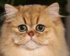 Koty złociste