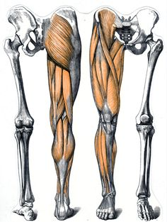 Spieren en botten van onze benen Leg Anatomy, Anatomy Poses, Muscle Anatomy, Anatomy Study, Anatomy Reference, Human Anatomy Drawing, Human Body Anatomy, Anatomy Sketches, Body Sketches