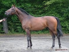 Polish Warmblood stallion Babilon. Polish Warmblood is yet another European warmblood registry. Its goal is to produce good sport horses out of other European WB's, TB's, Trakehners and whatever is left from the old Polish horse breeding.